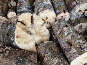 Agarwood tree trunk