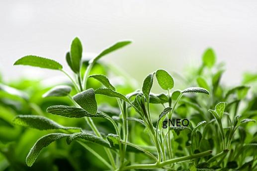 Organic Sage Essential Oil