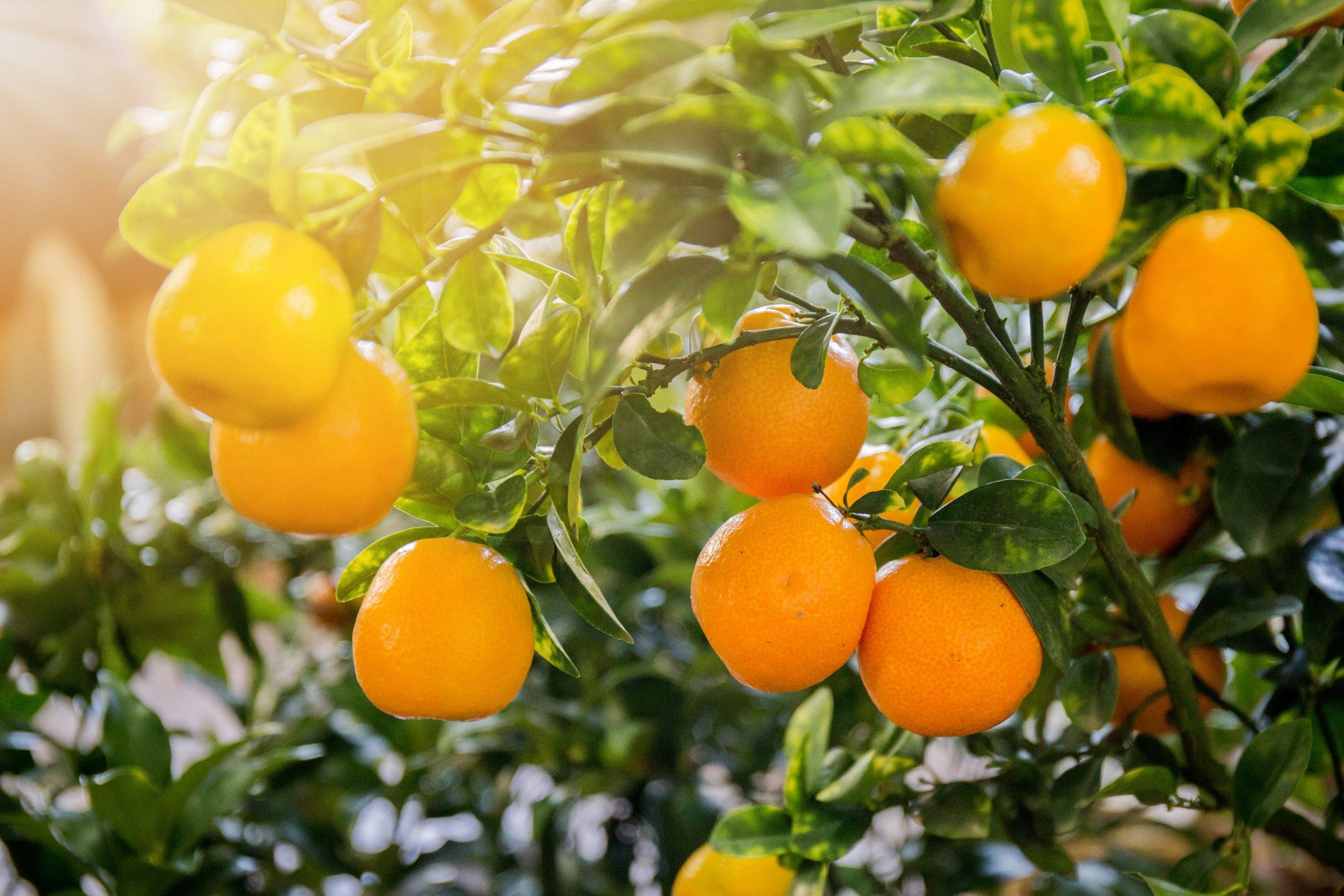 Orange bitter essential oil